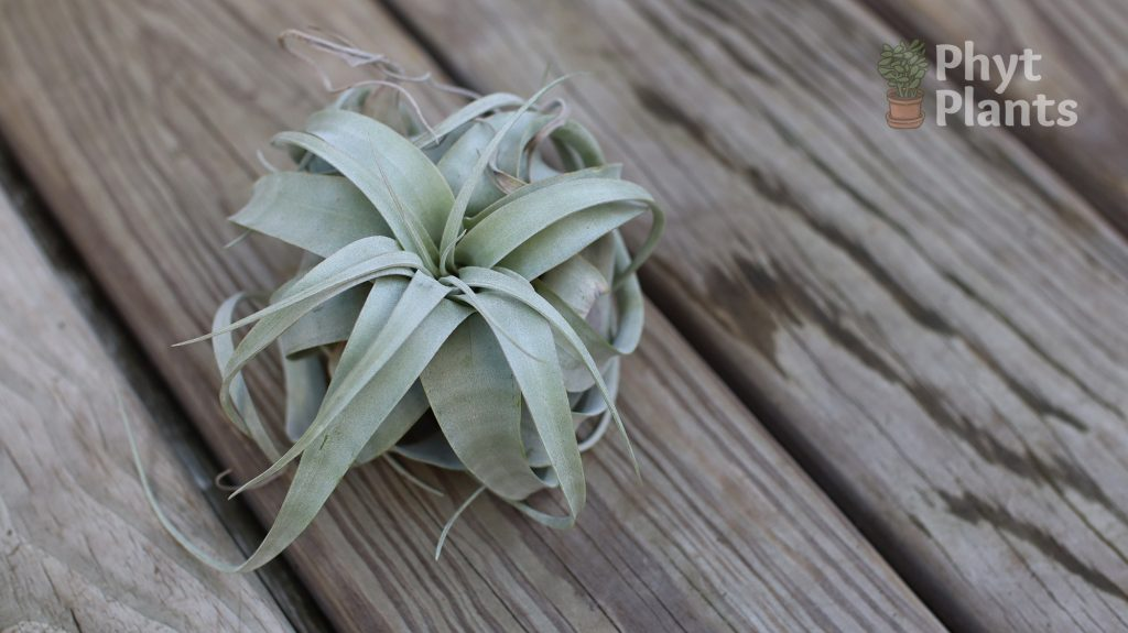 caring for xerographica