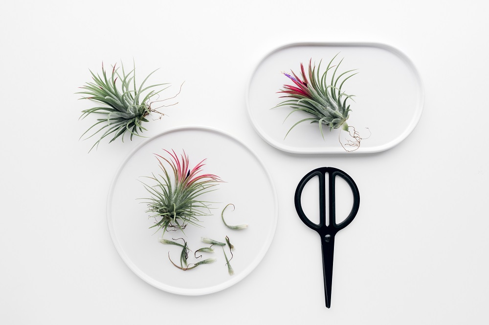 pruning air plant