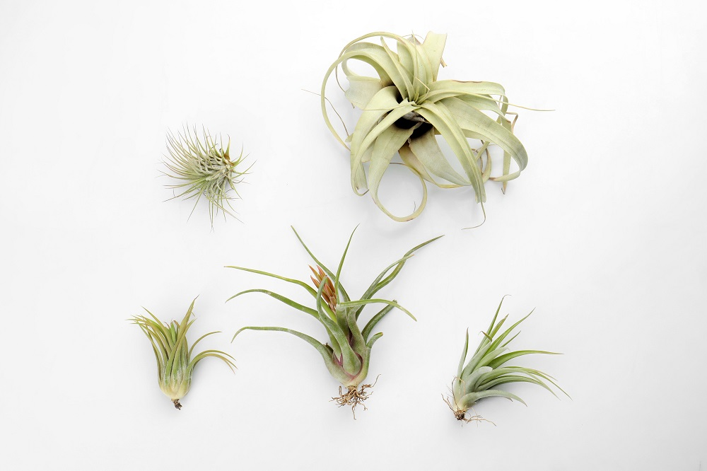 what are air plants