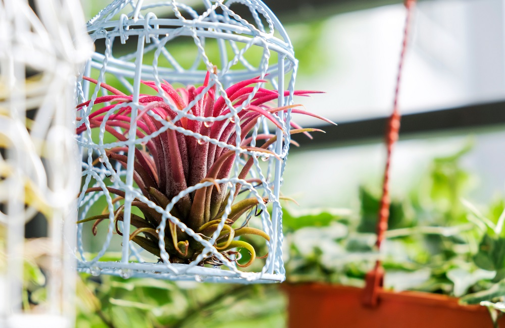 air plant in bird cage